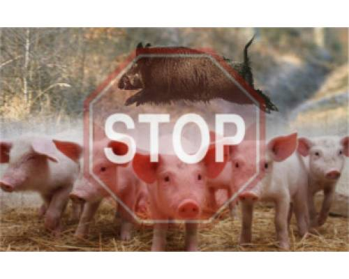 Про африканську чуму свиней